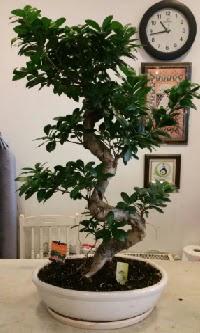 100 cm yüksekliğinde dev bonsai japon ağacı  Bayburt İnternetten çiçek siparişi