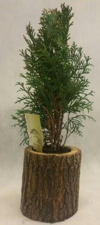SINIRLI STOK Selvi Bonsai Doğal kütükte  Bayburt İnternetten çiçek siparişi