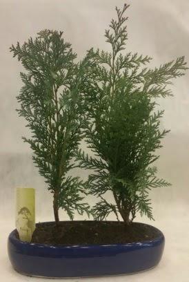 SINIRLI SAYIDA Selvi Ağacı bonsai ikili  Bayburt çiçekçi telefonları