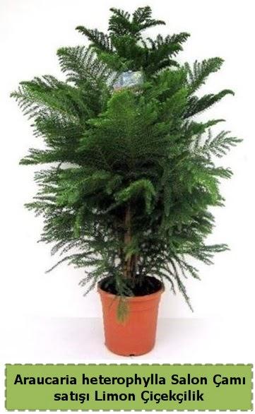 Salon Çamı Satışı Araucaria heterophylla  Bayburt çiçek satışı