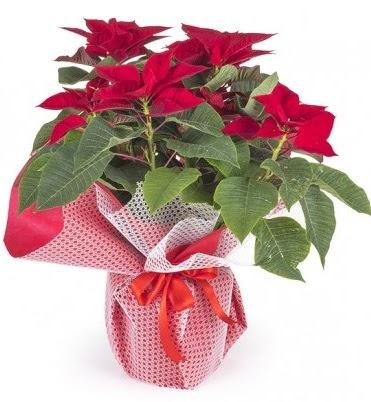 Atatürk çiçeği saksı bitkisi  Bayburt çiçek gönderme sitemiz güvenlidir