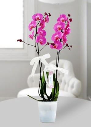 Çift dallı mor orkide  Bayburt çiçekçiler