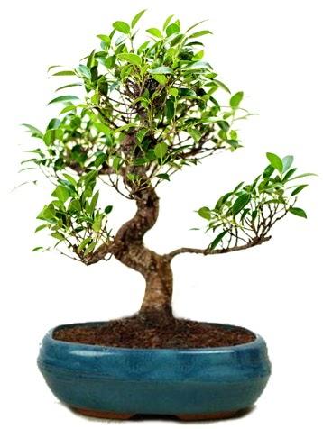 25 cm ile 30 cm aralığında Ficus S bonsai  Bayburt çiçek gönderme sitemiz güvenlidir