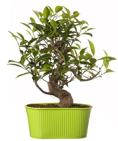 Ficus S gövdeli muhteşem bonsai  Bayburt çiçek siparişi sitesi