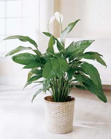 Bayburt online çiçek gönderme sipariş  spatilyum ithal büyük boy
