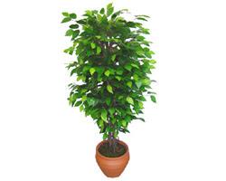 Ficus Benjamin 1,50 cm   Bayburt anneler günü çiçek yolla