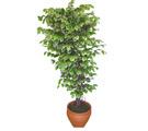 Ficus özel Starlight 1,75 cm   Bayburt cicek , cicekci