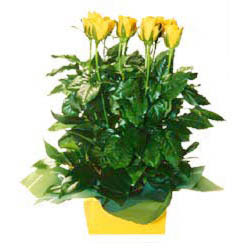 11 adet sari gül aranjmani  Bayburt online çiçekçi , çiçek siparişi