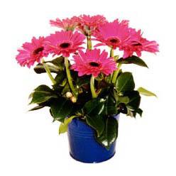 vazo içerisinde gerbera çiçekleri   Bayburt online çiçek gönderme sipariş