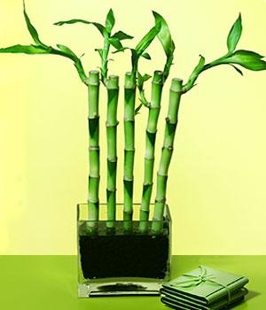 Bayburt anneler günü çiçek yolla  Good Harmony Lucky Bamboo camda