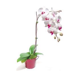 Bayburt çiçek gönderme  Saksida orkide