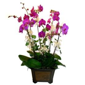 Bayburt cicek , cicekci  4 adet orkide çiçegi