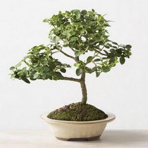 ithal bonsai saksi çiçegi  Bayburt çiçek online çiçek siparişi