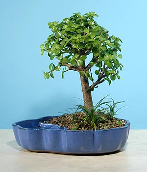 ithal bonsai saksi çiçegi  Bayburt çiçekçiler