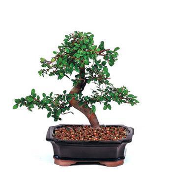 ithal bonsai saksi çiçegi  Bayburt çiçek siparişi vermek
