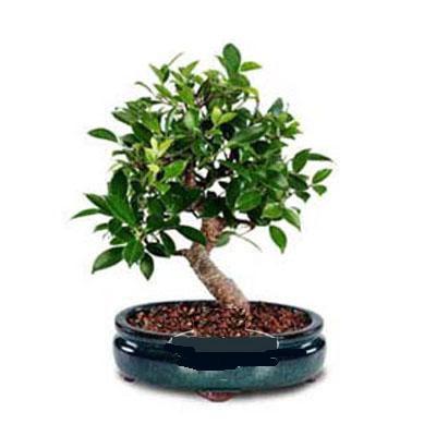 ithal bonsai saksi çiçegi  Bayburt çiçek siparişi sitesi