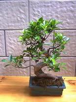 ithal bonsai saksi çiçegi  Bayburt hediye sevgilime hediye çiçek