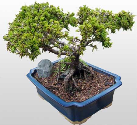 ithal bonsai saksi çiçegi  Bayburt çiçekçi mağazası
