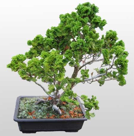 ithal bonsai saksi çiçegi  Bayburt İnternetten çiçek siparişi