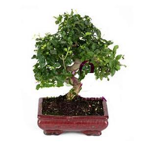 ithal bonsai saksi çiçegi  Bayburt anneler günü çiçek yolla