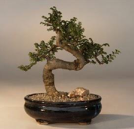 ithal bonsai saksi çiçegi  Bayburt 14 şubat sevgililer günü çiçek