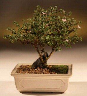 ithal bonsai saksi çiçegi  Bayburt çiçek mağazası , çiçekçi adresleri