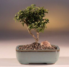 Bayburt çiçek yolla  ithal bonsai saksi çiçegi  Bayburt internetten çiçek satışı