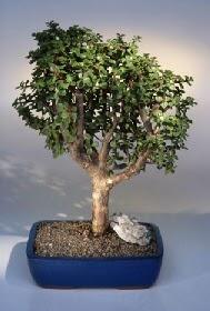 Bayburt çiçek gönderme  ithal bonsai saksi çiçegi  Bayburt çiçekçiler