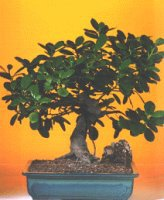 Bayburt çiçekçi telefonları  ithal bonsai saksi çiçegi  Bayburt internetten çiçek siparişi