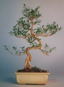 Bayburt çiçek satışı  ithal bonsai saksi çiçegi  Bayburt çiçek siparişi vermek