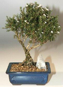 Bayburt çiçek , çiçekçi , çiçekçilik  ithal bonsai saksi çiçegi  Bayburt online çiçek gönderme sipariş