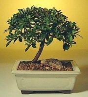 Bayburt ucuz çiçek gönder  ithal bonsai saksi çiçegi  Bayburt cicek , cicekci