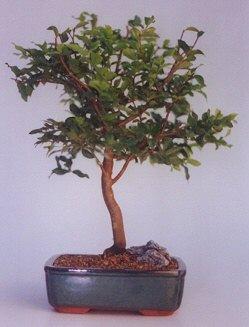 Bayburt ucuz çiçek gönder  ithal bonsai saksi çiçegi  Bayburt anneler günü çiçek yolla