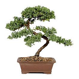 ithal bonsai saksi çiçegi  Bayburt çiçek gönderme sitemiz güvenlidir
