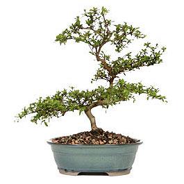 Bayburt İnternetten çiçek siparişi  ithal bonsai saksi çiçegi  Bayburt çiçek gönderme sitemiz güvenlidir