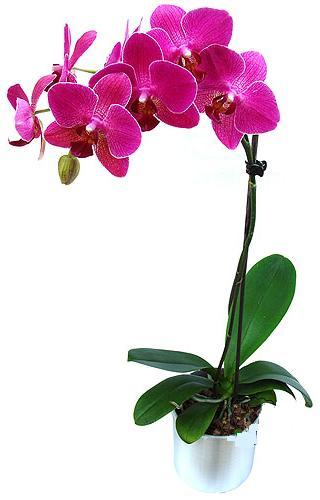 Bayburt çiçekçi mağazası  saksi orkide çiçegi
