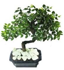 9 yasinda Bonsai agaci  Bayburt yurtiçi ve yurtdışı çiçek siparişi