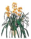 Bayburt çiçekçiler  Orchiede ithal büyük boy saksi