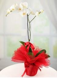 1 dal beyaz orkide saksı çiçeği  Bayburt yurtiçi ve yurtdışı çiçek siparişi