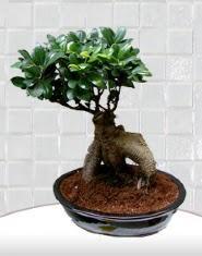 saksı çiçeği japon ağacı bonsai  Bayburt kaliteli taze ve ucuz çiçekler