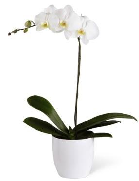 1 dallı beyaz orkide  Bayburt 14 şubat sevgililer günü çiçek