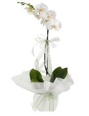 1 dal beyaz orkide çiçeği  Bayburt çiçek siparişi vermek