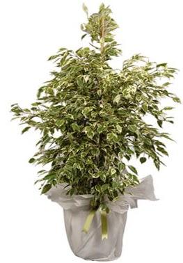 Orta boy alaca benjamin bitkisi  Bayburt internetten çiçek satışı
