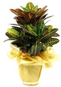 Orta boy kraton saksı çiçeği  Bayburt 14 şubat sevgililer günü çiçek