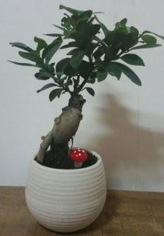 Bonsai japon ağacı saksı çiçeği  Bayburt çiçek gönderme sitemiz güvenlidir