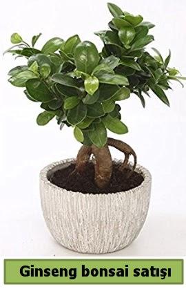 Ginseng bonsai japon ağacı satışı  Bayburt çiçekçi telefonları