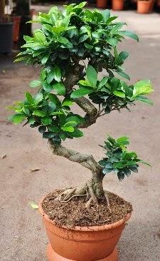 Orta boy bonsai saksı bitkisi  Bayburt internetten çiçek siparişi