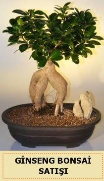 İthal Ginseng bonsai satışı japon ağacı  Bayburt çiçek siparişi sitesi