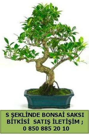 İthal S şeklinde dal eğriliği bonsai satışı  Bayburt çiçek gönderme