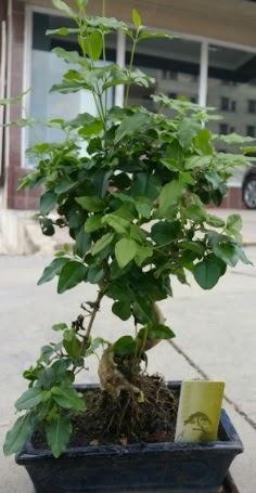 Bonsai japon ağacı saksı bitkisi  Bayburt çiçek siparişi vermek